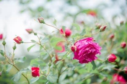 Rosen Südsteiermark Garten