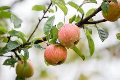 Apfel Polz Garten